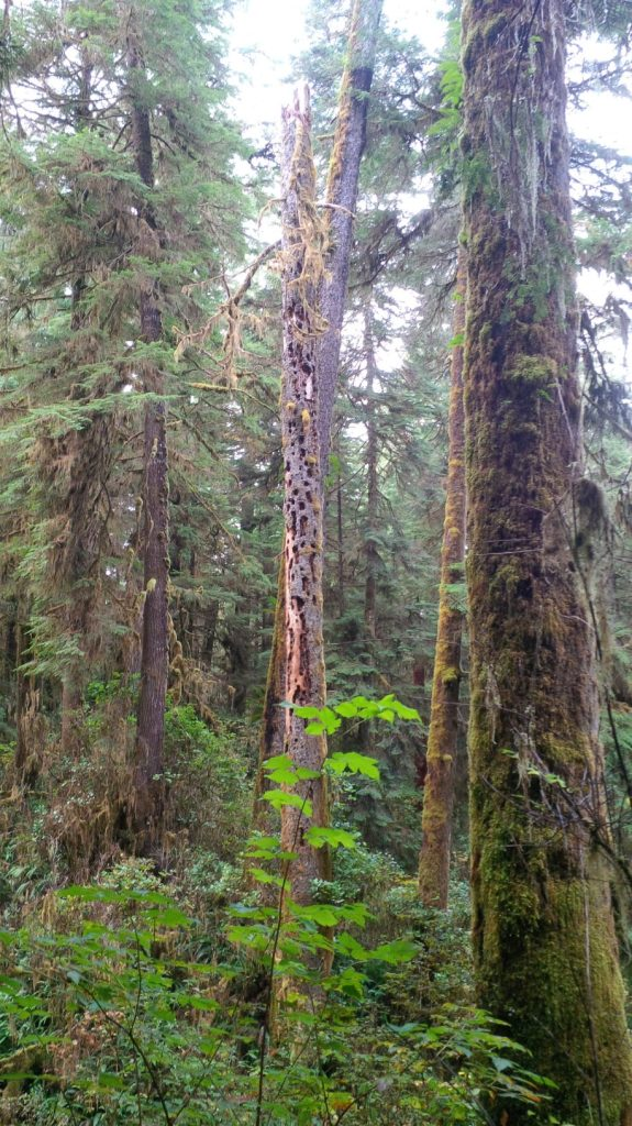 Coastal rainforest with woodpecker tree