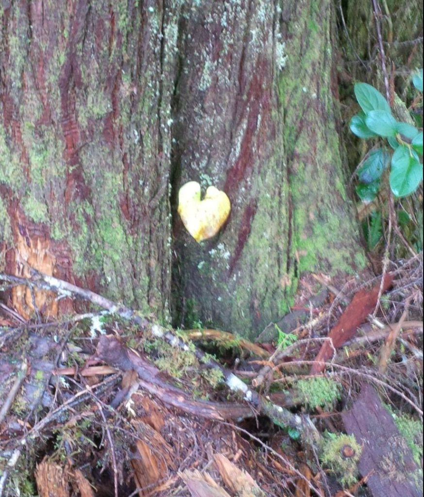 Yellow heart-shaped leaf of Maianthemum dilatatum and cedar trunk