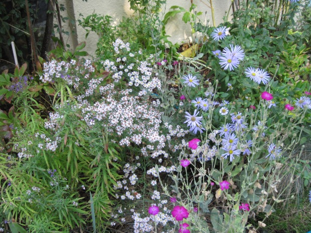 "Asters ""Pink Cloud"" and ""Monch"" with a few last flowers of Rose Campion"