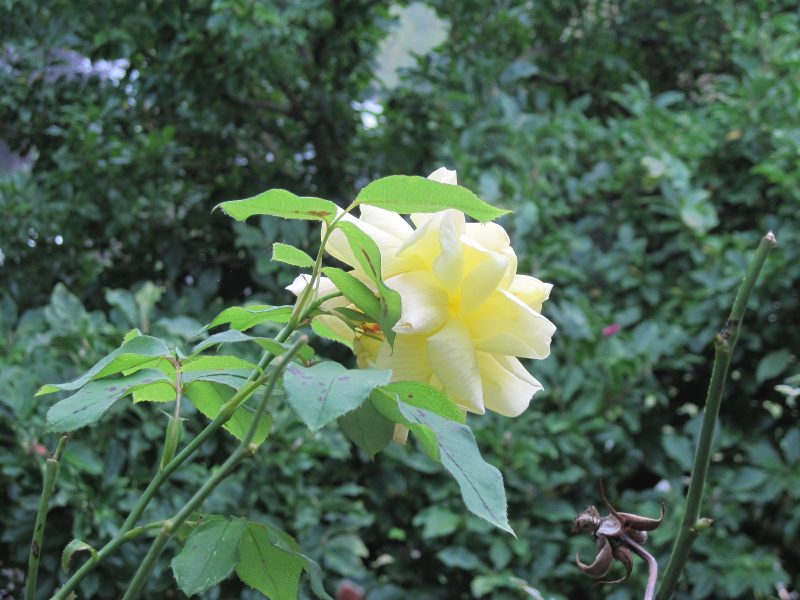 Yellow rose; photo taken from living room window