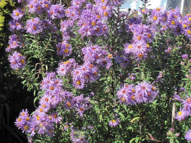 Late-blooming purple aster (variety unknown)