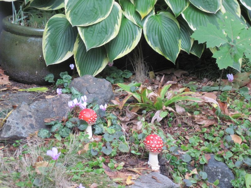 Small Amanita muscaria mushrooms near the pond with Hosta leaves in background