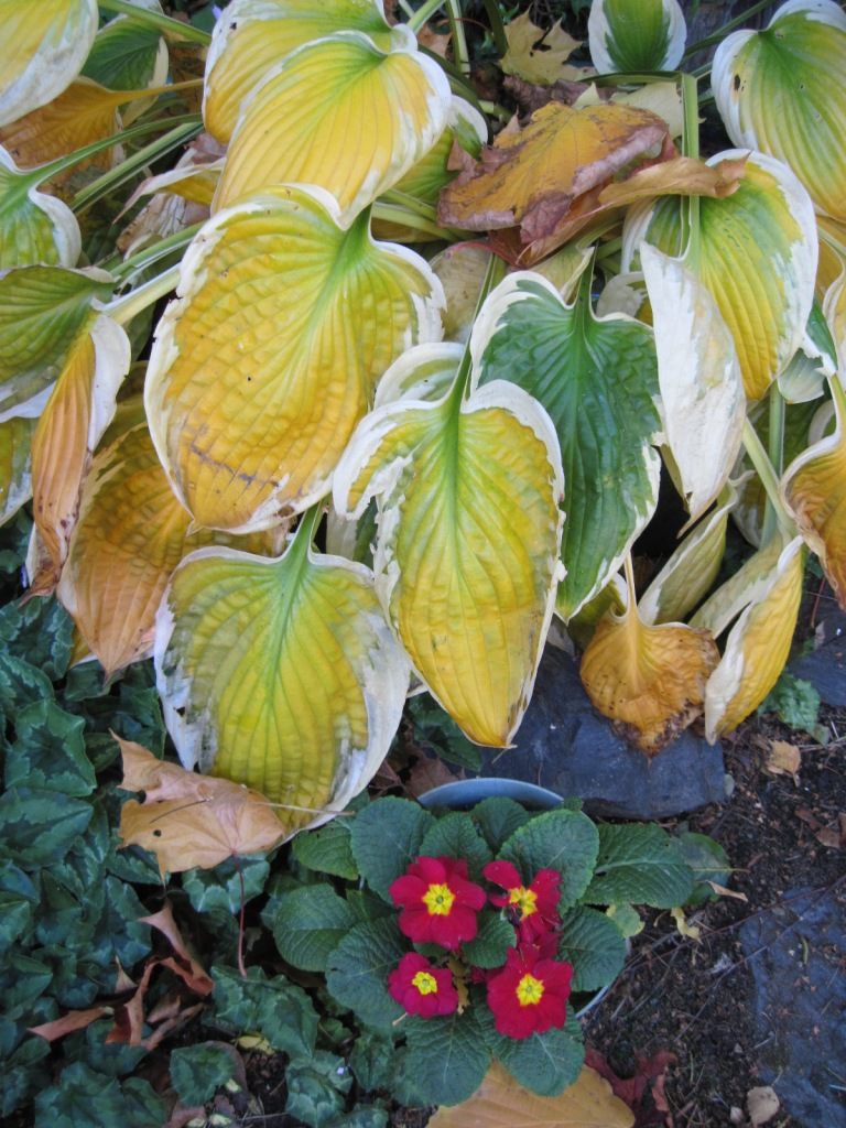 End of season deteriorating fading foliage of green and white hosta and red and yellow Primula
