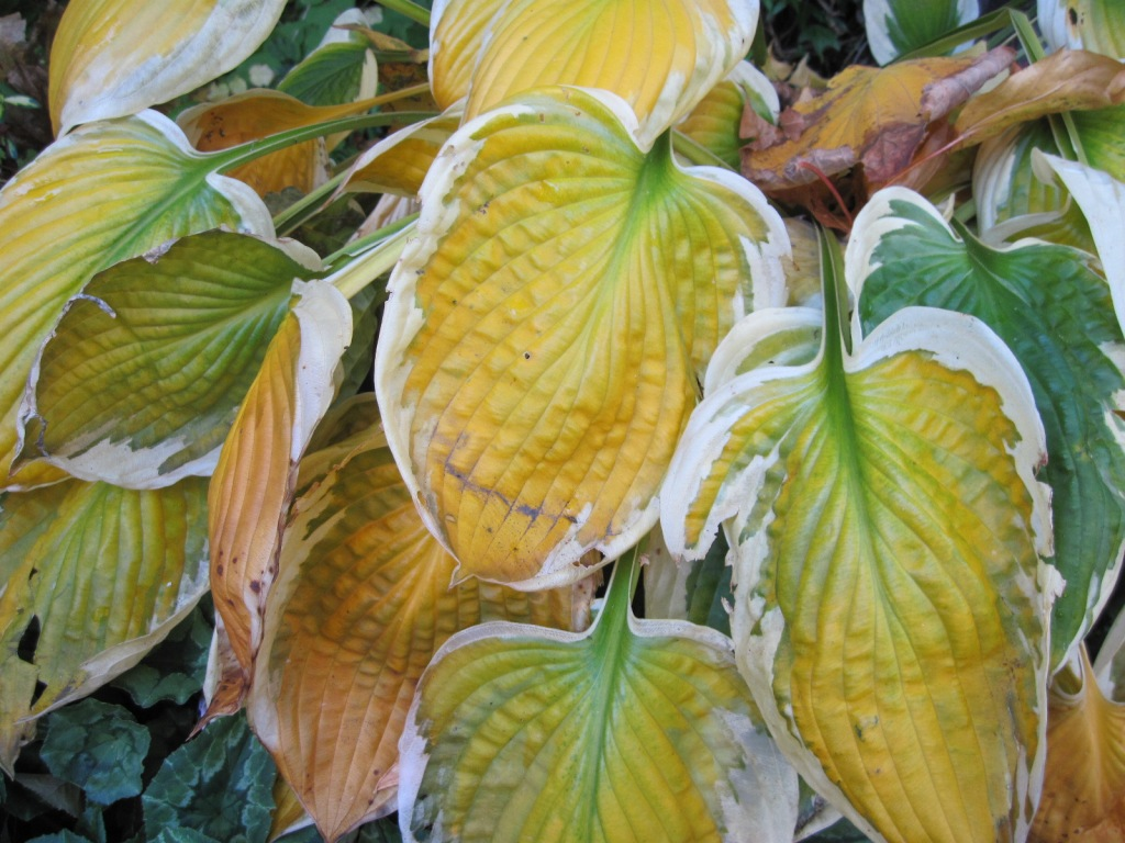 End of season deteriorating fading foliage of green and white hosta