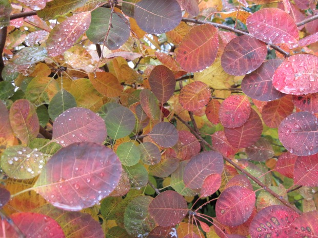 Smoke bush (Cotinus coggygria) Royal Purple leaves with raindrops November