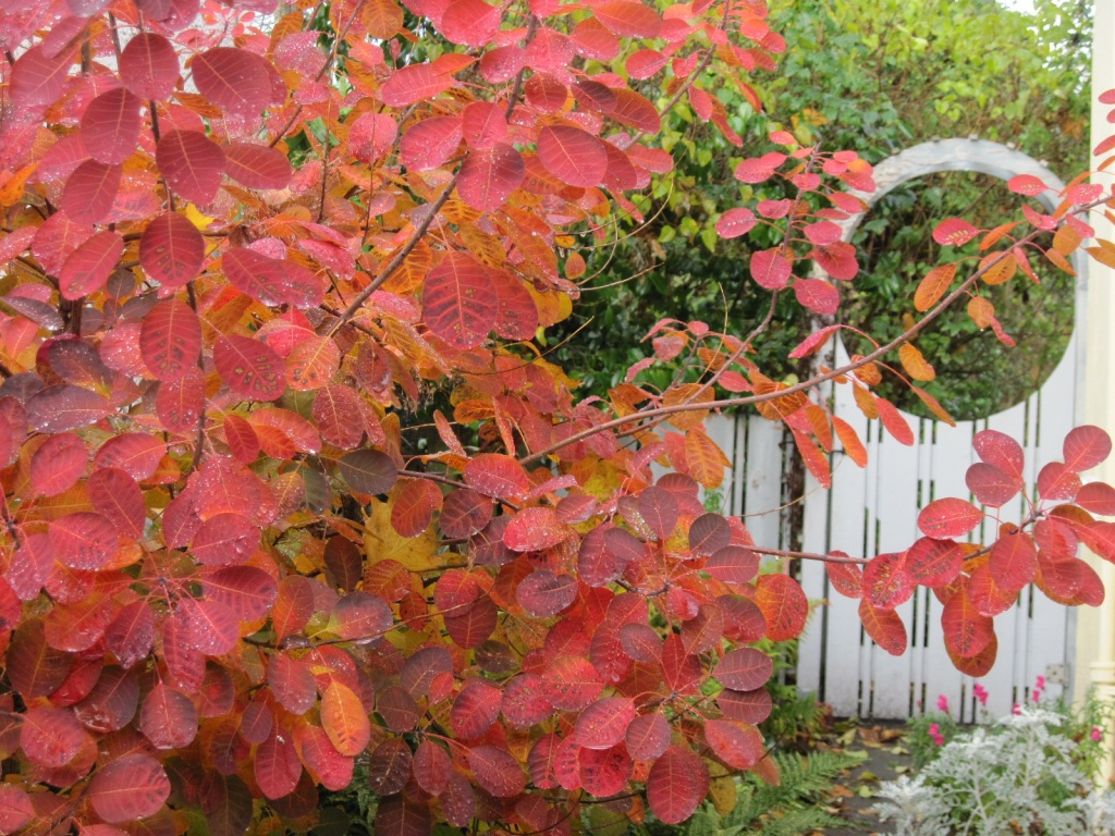 Smoke bush (Cotinus coggygria) Royal Purple foliage and gate November