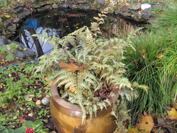 Japanese painted fern (Athyrium niponicum var. Pictum) and pond