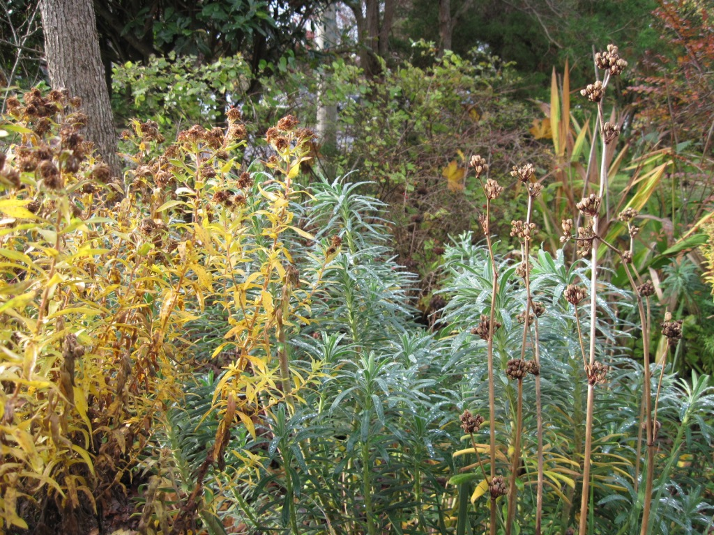 Yellowing foliage and brown seed heads of Aster and foliage of Euphorbia characias supsp. wulfenii
