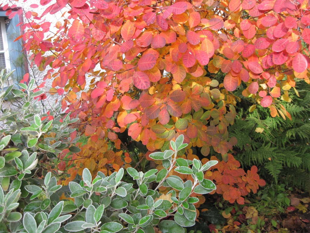 Smoke bush (Cotinus coggygria) Royal Purple foliage with Senecio Sunshine and ferns November