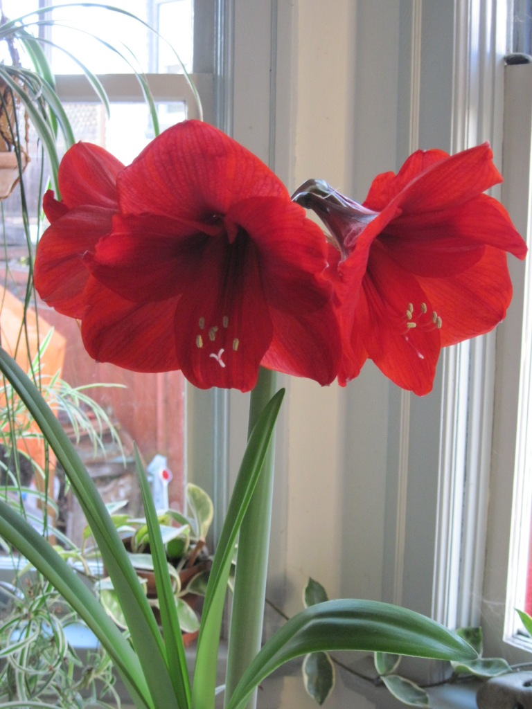 Red amaryllis November 2020