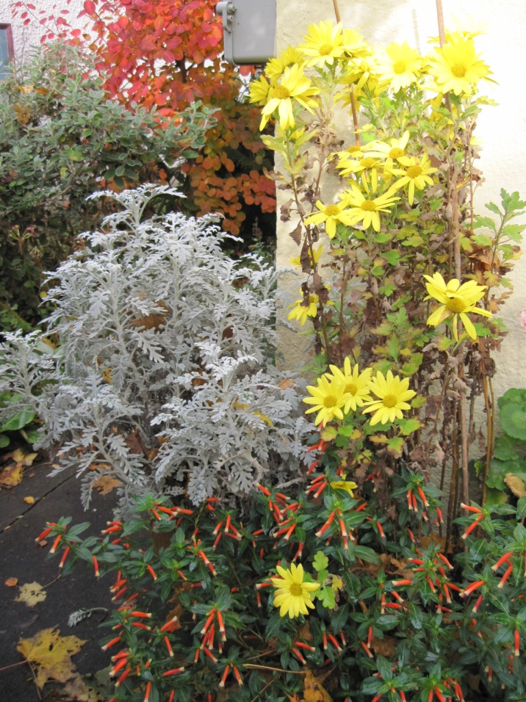 "Yellow chrysanthemum flowers with Cigar Plant (Cuphea) ""Vermilliionaire"" and Dusty Miller (Jacobaea maritima) foliage and Smoke Bush in background"