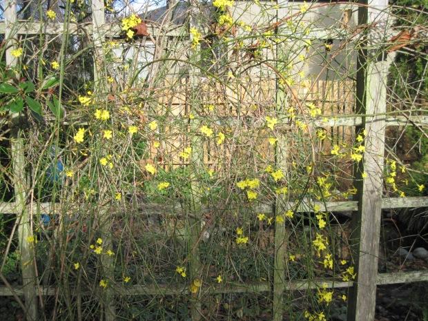 Winter jasmine yellow flowers on trellis