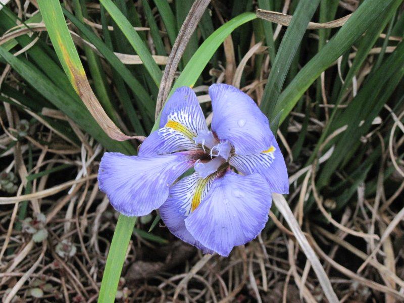 Algerian iris (Iris unguicularis) January 9, 2021
