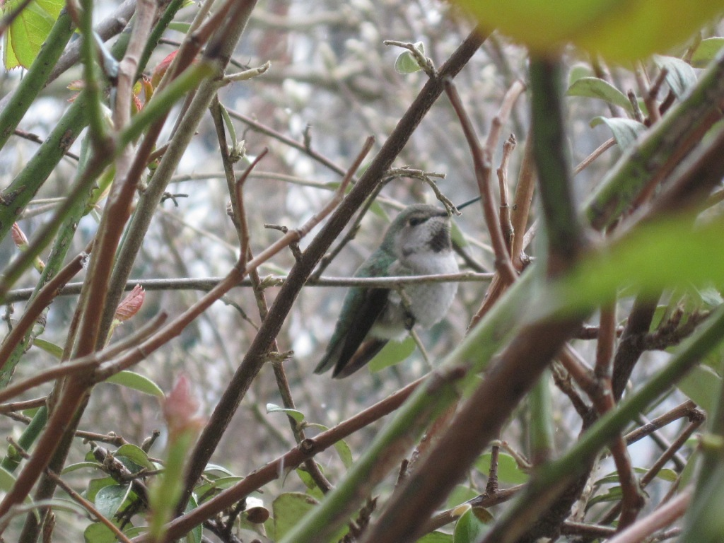 Hummingbird in cotoneaster February 2021