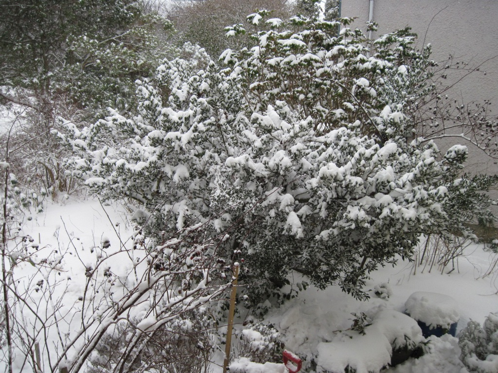 Snow on front garden shrubs February 2021