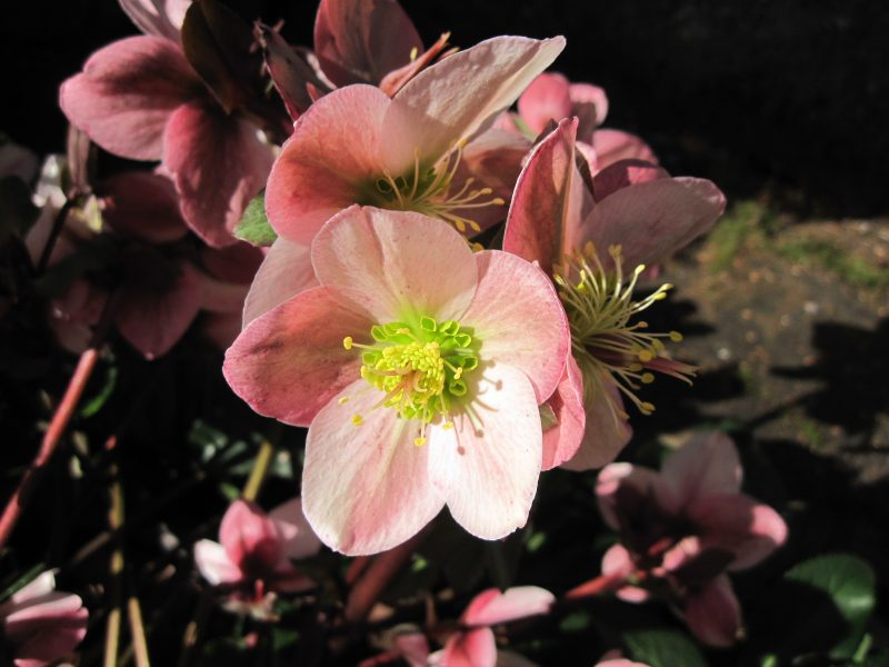 "Hellebore ""Pirouette"" flower closeup"