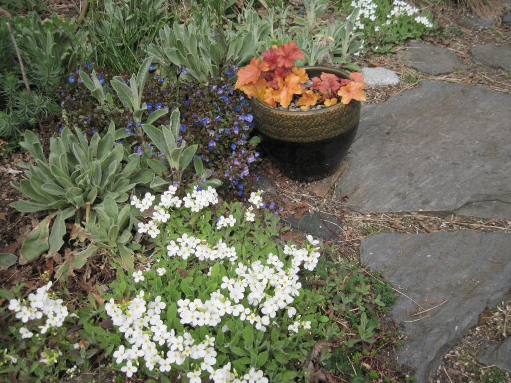 "White Arabis, Veronica ""Georgia Blue,"" and Heuchera ""Timeless Orange"" (in pot)"