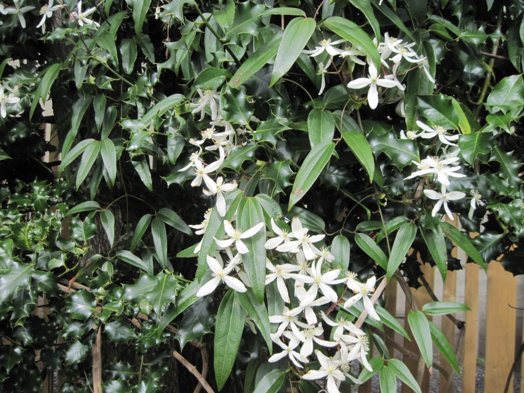 Clematis armandii in holly