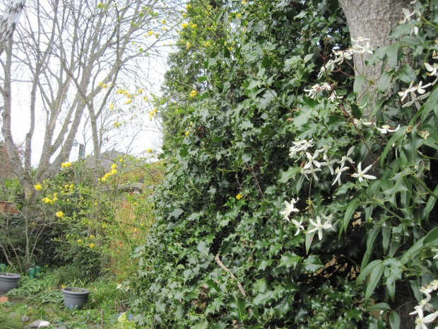 Clematis armandii on holly and Kerria japonica (yellow flowers)