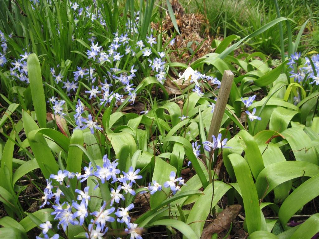 Chionodoxa luciliae and Erythronium oregonum (the single white flower