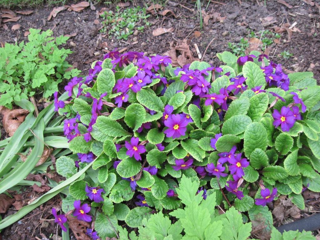 """Primula juliae x """"Wanda"""""""