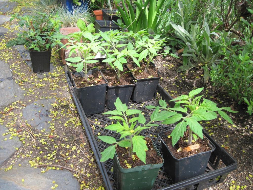 Tomato plants April 2021