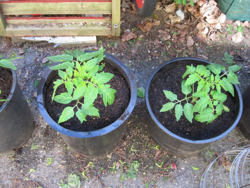 Tomato plants in big pots mid May