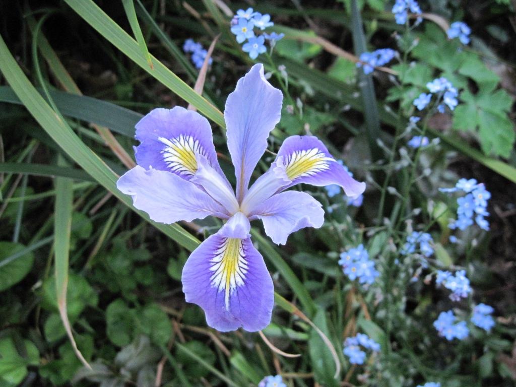Pacific Coast Iris, blue