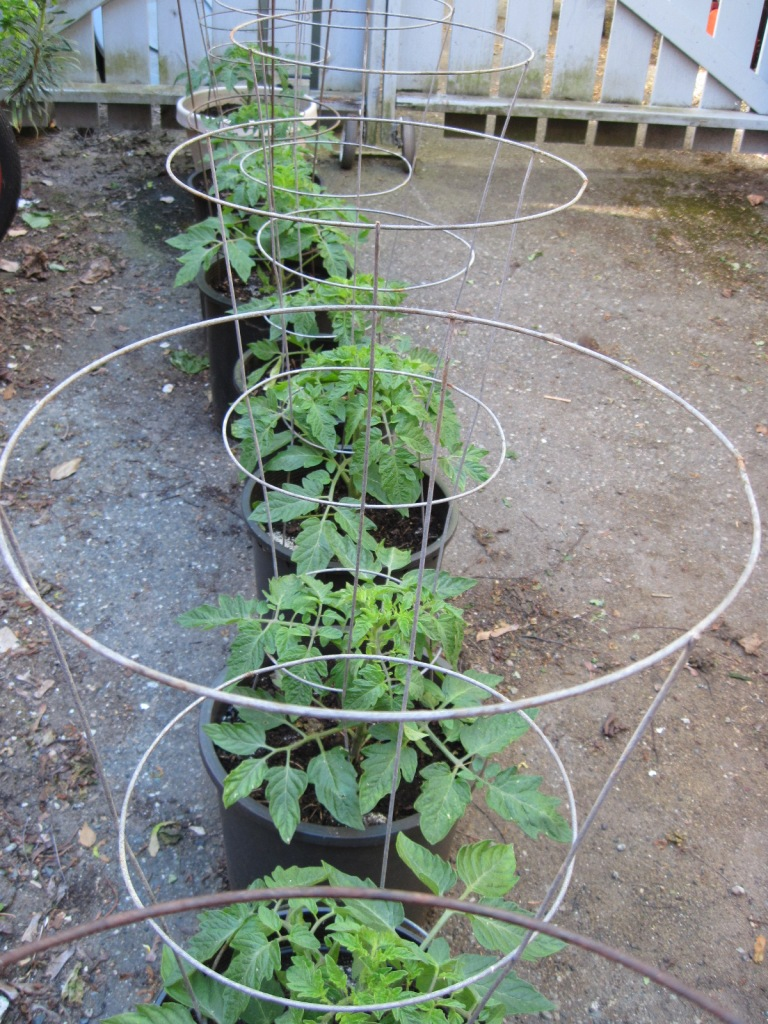 Tomato plants and tomato cages late May