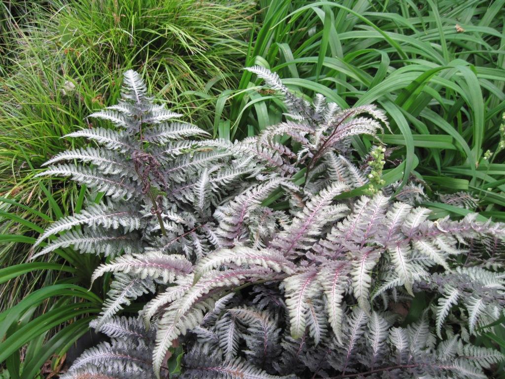 Japanese Painted Fern (Athyrium niponicum