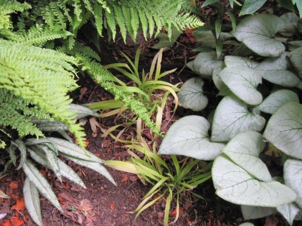 """Coloured foliage of Brunnera """"Looking Glass,"""" Pulmonaria, and grass Milium effusum """"Aureum"""""""