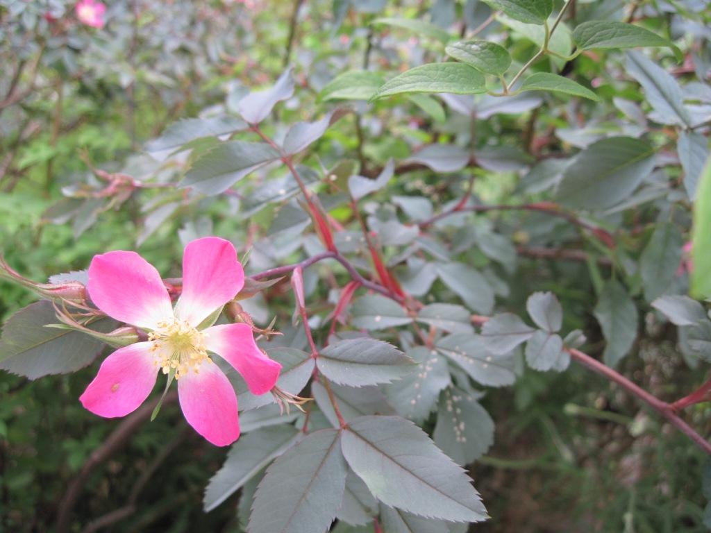 Red-leaf rose (Rosa glauca)