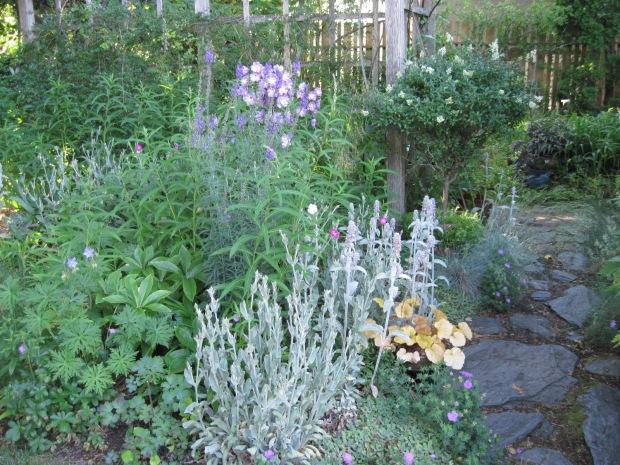 "Perennial bed next to path in back garden, pink delphinium, grey foliage, heuchera ""Timeless Orange"""