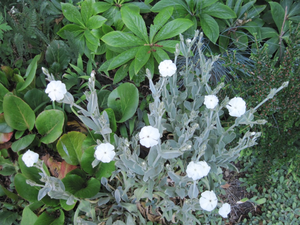 White Lychnis coronaria, grey foliage, with foliage of hellebore and bergenia