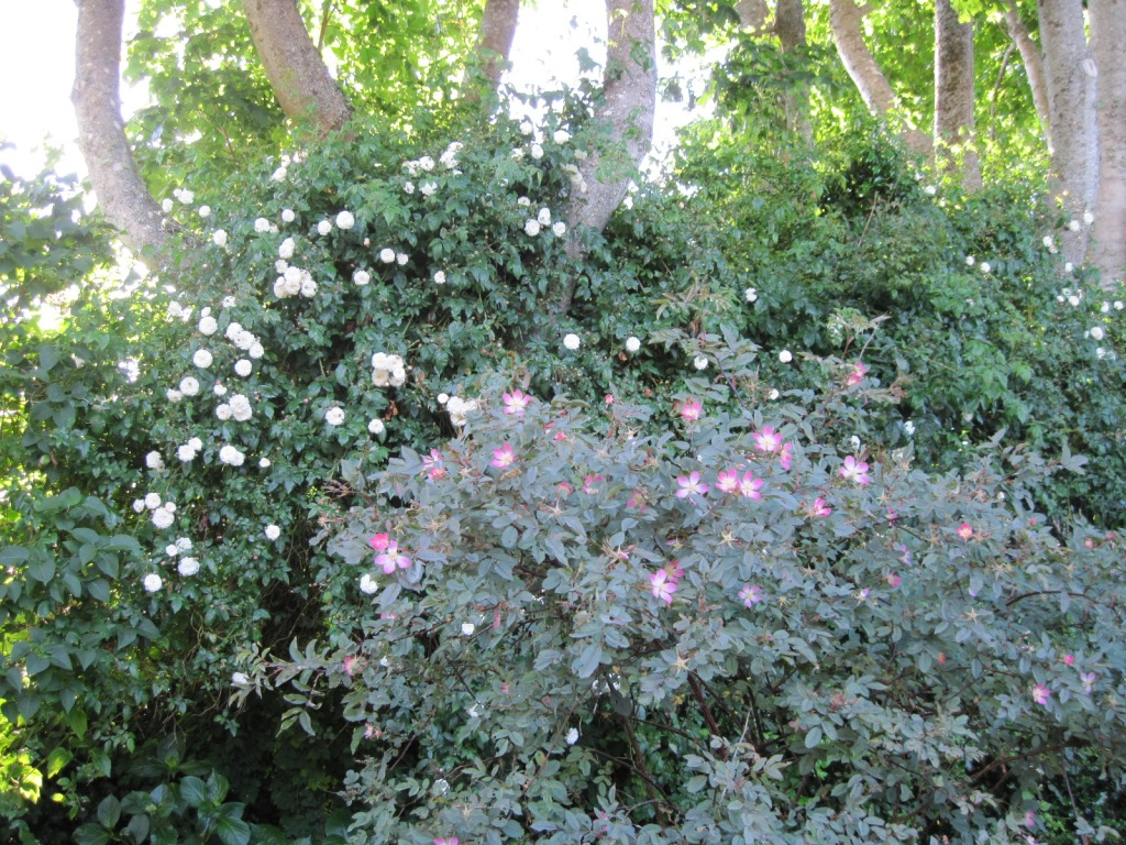 Red-leaf rose (Rosa glauca) in foreground, white climbing rose in background on Norway maples