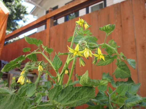 Tomato flowers against brown fence