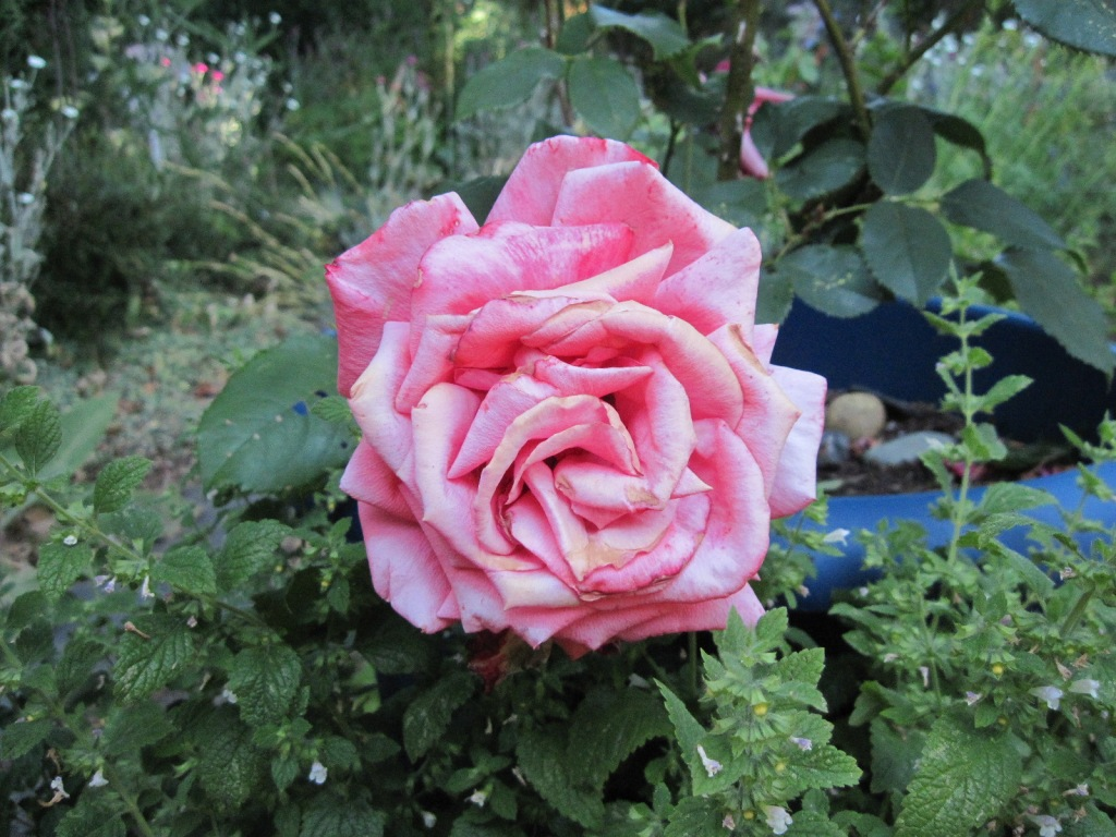 """Rose """"Fragrant Cloud"""" bloom bleached by sun during June 2021 heat wave"""