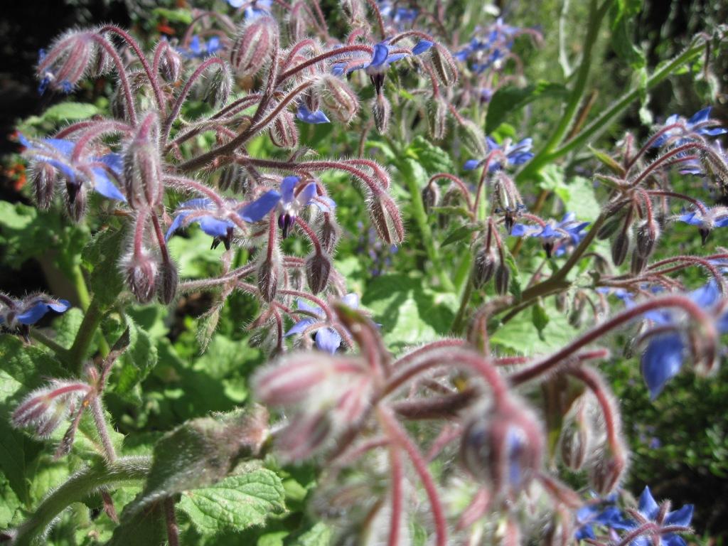 Borage flowers July 2021