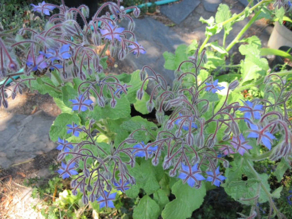 Borage flowers from above July 2021