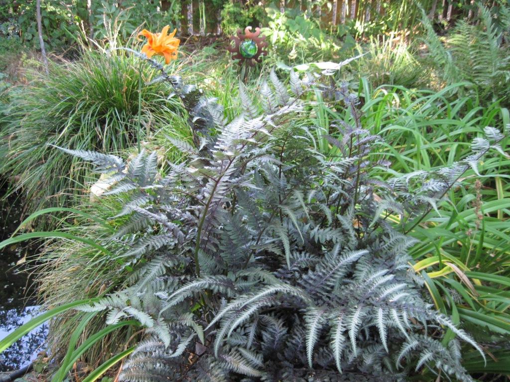 Japanese painted fern (Athyrium niponicum) and orange daylily