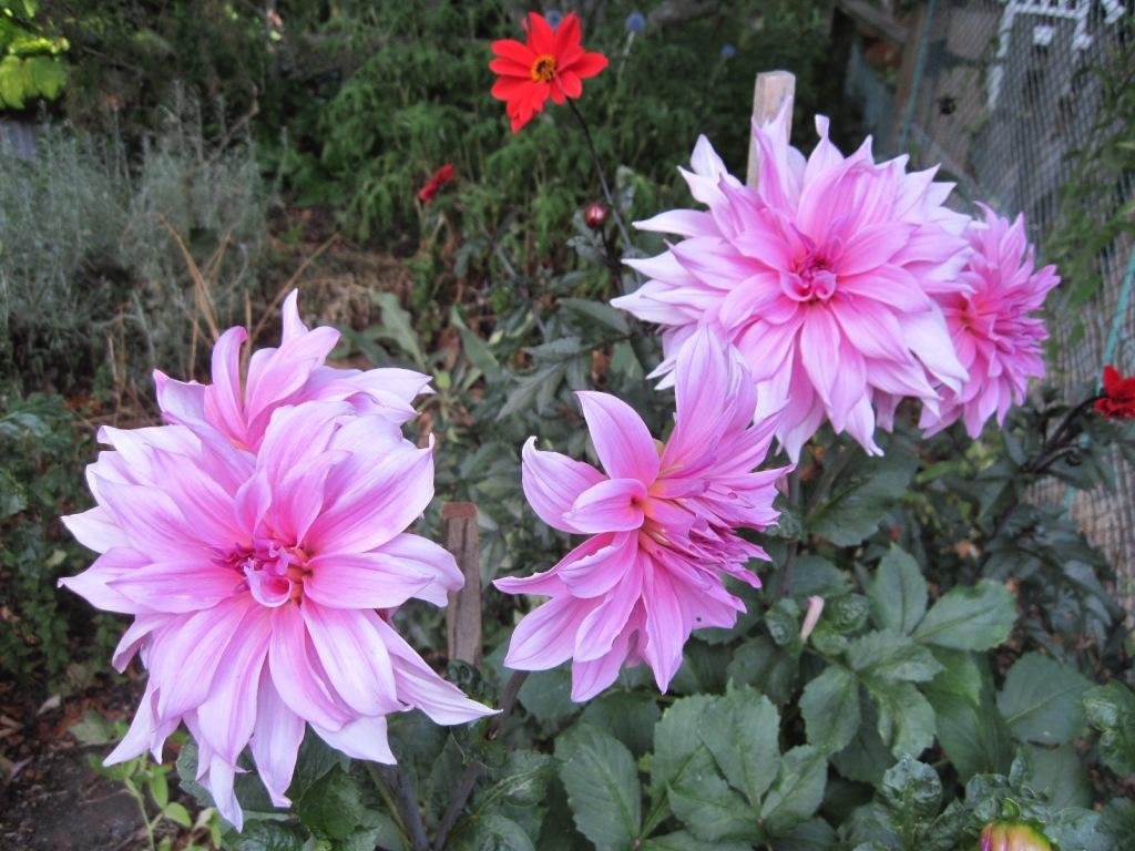 Pink dahlia flowers August 2021